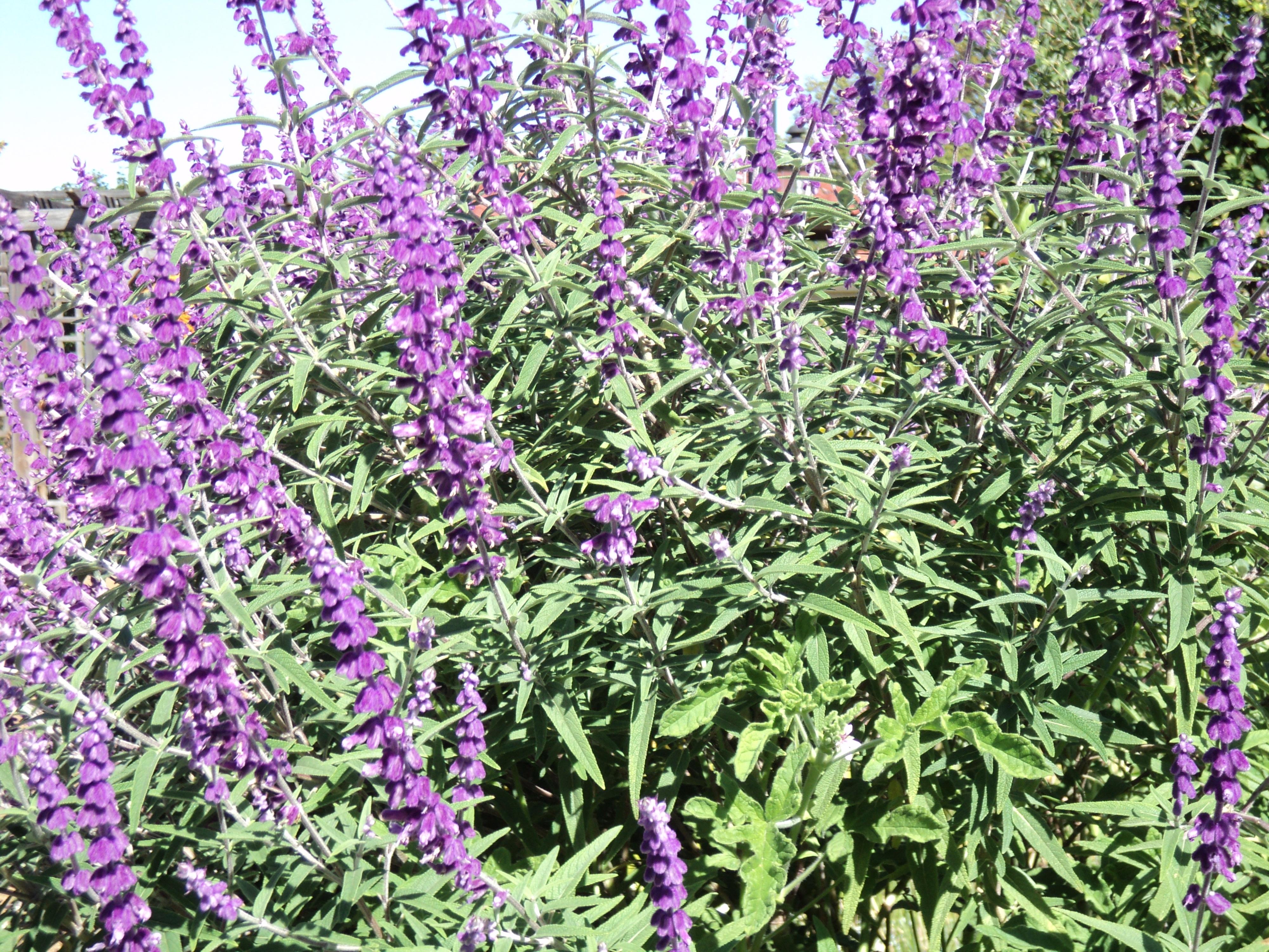 Tall Purple Flowering Plants Sevenstonesinc